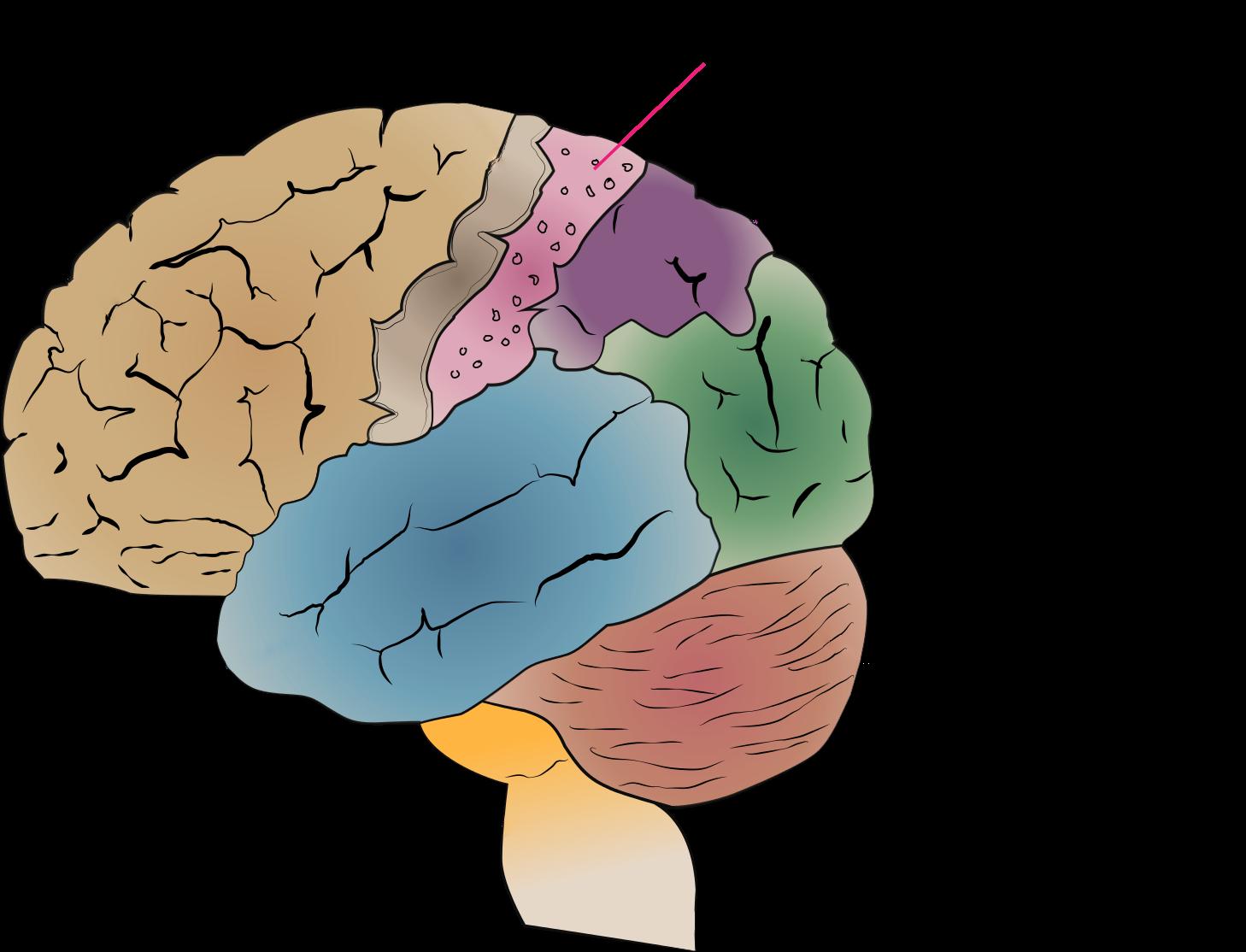 Cerebrum_lobes